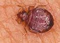 get rid of bed bugs in dubai