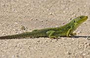 lizard in dubai