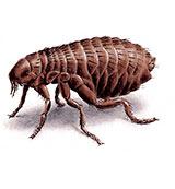 flea in dubai