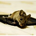 glue trap rat