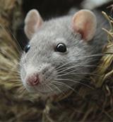 rat infestation in dubai