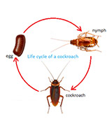 cockroaches life cycle